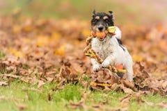 在秋叶的快速的杰克罗素赛跑与在嘴的一个球 免版税图库摄影