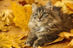 在秋叶的美丽的小猫 免版税图库摄影