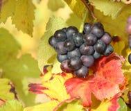 在秋叶的色情紫色葡萄 免版税图库摄影