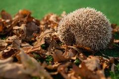 在秋叶的豪猪 图库摄影