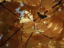 在秋叶的金翅雀 免版税库存照片