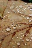 在秋叶的雨珠 免版税库存图片