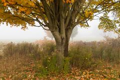 在秋叶, Stowe佛蒙特,美国期间的孤立槭树 库存图片