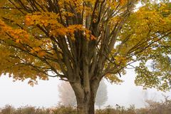 在秋叶, Stowe佛蒙特,美国期间的孤立槭树 库存照片