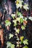 在秋天与色的叶子的常春藤在湿树干上升 免版税图库摄影