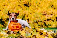 在秋天五颜六色的草坪的狗和万圣夜发光的南瓜 免版税库存照片