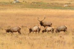 在秋天交配季节期间的公牛麋保护的母牛在金黄草甸 免版税库存图片
