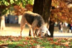 在秋天光的狗 图库摄影