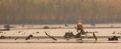 在秋天光的白被盯梢的老鹰 免版税库存照片