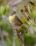 在秋天全身羽毛-佛罗里达的纳稀威鸣鸟 免版税库存照片