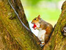 在秋天公园吃苹果的灰色灰鼠 库存图片