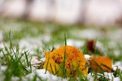 在秋天公园染黄下落的叶子和第一雪 免版税图库摄影