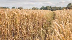 在秋天前打开与干燥金黄麦子钉的领域在晴天准备好收获 免版税库存图片