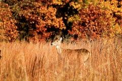 在秋天叶子和高草察觉的母鹿鹿 免版税库存照片