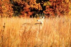 在秋天叶子和高草察觉的母鹿鹿 库存图片