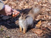 在秋天叶子的灰鼠采取从妇女的手的坚果 免版税库存图片