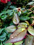 在秋天叶子的雨珠 免版税库存图片