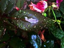 在秋天叶子的雨珠 库存图片