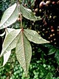 在秋天叶子的雨珠 免版税库存照片