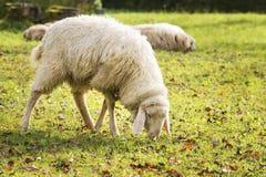 在秋天吃草绵羊 免版税图库摄影