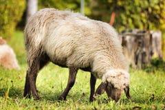 在秋天吃草绵羊 库存图片