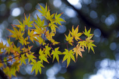 在秋天在京都, J期间,黄色和绿色鸡爪枫离开 免版税库存图片