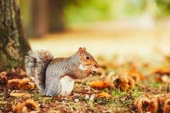 在秋天场面的逗人喜爱的灰鼠 免版税库存照片