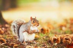 在秋天场面的逗人喜爱的灰鼠 免版税库存图片