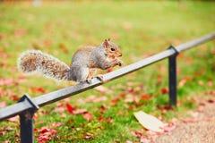 在秋天场面的逗人喜爱的灰鼠 图库摄影