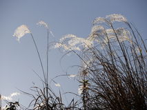 在秋天天空的银色grasssusuki 免版税库存照片