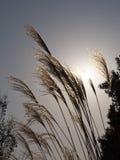 在秋天天空的银色grasssusuki 库存照片