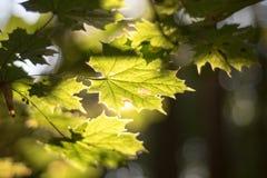 在秋天太阳的槭树叶子 免版税库存照片