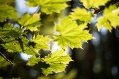 在秋天太阳的槭树叶子 免版税图库摄影