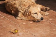 在秋天太阳被点燃的门廊地板上的狗 库存照片