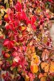 在秋天季节、关闭常春藤属螺旋看法,英国常春藤或者欧洲常春藤的几周期间叶子转动了红色 免版税库存图片