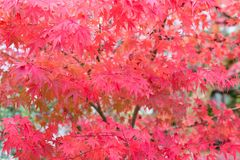 在秋天季节期间的红槭叶子 免版税库存照片