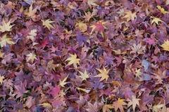在秋天季节期间,紫色槭树在地面离开 免版税图库摄影