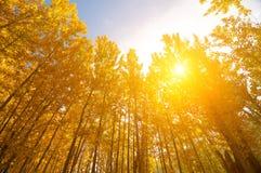 在秋天季节的亚斯本树 库存照片