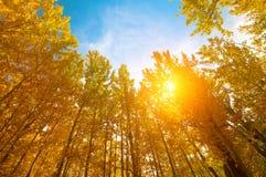 在秋天季节的亚斯本树 免版税库存照片