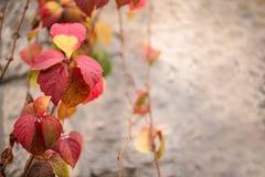 在秋天季节的几周期间叶子转动了红色,常春藤属螺旋,英国常春藤看法的关闭,与文本空间 免版税库存图片