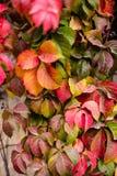 在秋天季节的几周期间叶子转动了红色,常春藤属螺旋,英国常春藤看法的关闭  库存照片