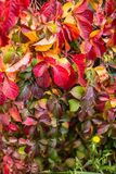在秋天季节的几周期间叶子转动了红色,观点的关闭的英国常春藤,与黄色蒲公英 免版税库存照片
