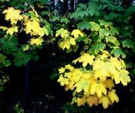 在秋天季节的摧毁的美国梧桐叶子 免版税图库摄影