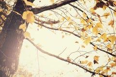 在秋天季节的槭树 免版税库存图片