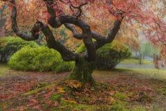 在秋天季节的老鸡爪枫树 图库摄影