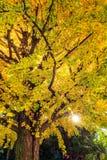 在秋天季节的黄色叶子树在阳光 库存图片