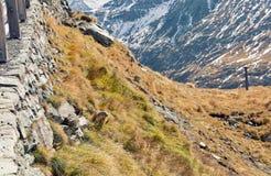 在秋天山坡的高山土拨鼠 库存图片