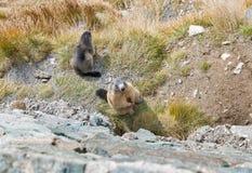 在秋天山坡的高山土拨鼠 免版税图库摄影