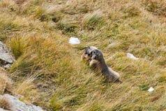 在秋天山坡的高山土拨鼠 免版税库存图片