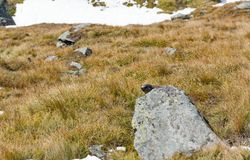 在秋天山坡的高山土拨鼠 免版税库存照片